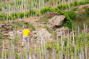 working the soil in the vineyard cornas rhone france
