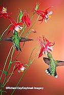 01162-07104 Ruby-throated Hummingbirds (Archilochus colubris) Male & female on Crimson Star Columbine (Aquilegia x hybrida) Shelby Co. IL