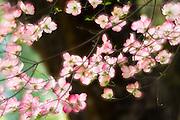 Pink Dogwood, Yosemite National Park, California USA