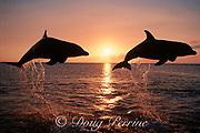 common bottlenose dolphins, Tursiops truncatus, leaping at sunset, Roatan, Honduras, Caribbean Sea