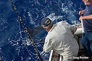 fishing mate Rooster Morehead handles the leader on a small blue marlin, Makaira nigricans, to bring it alongside the boat for release, while charter customer Warren McIntyre, on right, holds tagging pole, Vava'u, Kingdom of Tonga, South Pacific