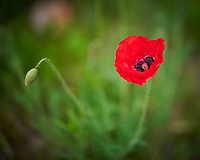 Red Poppy Flower. Image taken with a Nikon D850 camera and 105 mm f/1.4 lens (ISO 400, 105 mm, f/1.4, 1/200 sec)