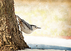 A White Breasted Nuthatch On A Tree in a Typical Pose