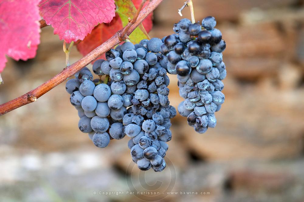 vineyard grape bunch quinta do seixo sandeman douro portugal