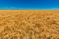 Wheat fields at harvest time, Schields & Sons Farming, Goodland, Kansas USA.