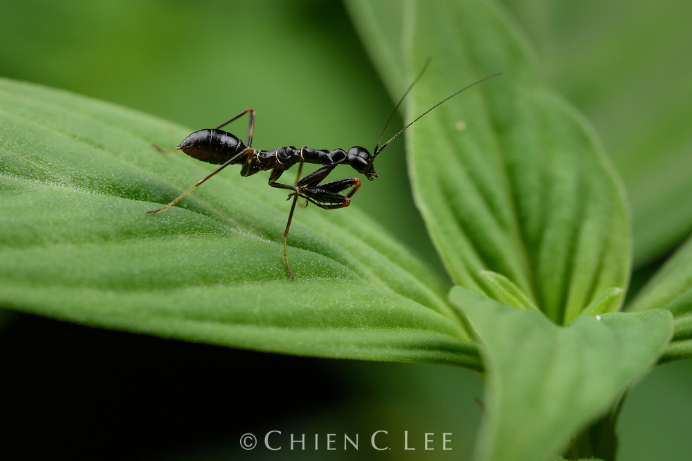 Asian Ant Mantis (Odontomantis sp.). Sarawak, Malaysia (Borneo).