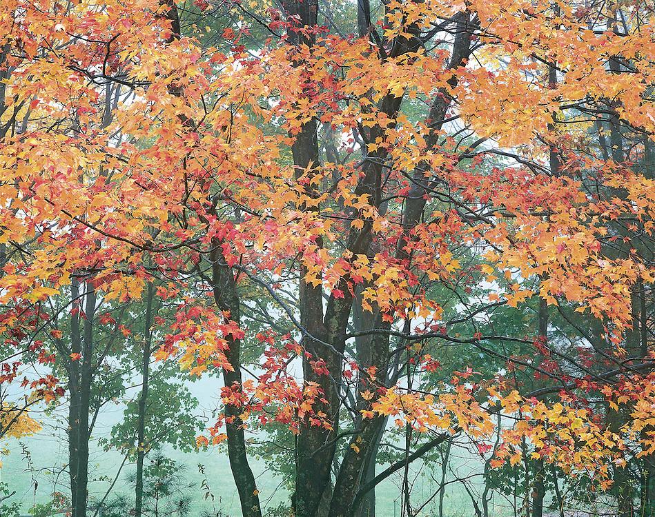 Brilliant Autumn Maple Tree Portrait, Blue Ridge Parkway...