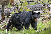 Adult Black Bear (Ursus americanus) in habitat