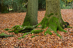 © Licensed to London News Pictures. 06/11/2019. BURNHAM, UK.  Fallen beech leaves as autumn comes to Burnham Beeches in Buckinghamshire.  The 220 hectare historic woodland is a National Nature Reserve and European Special Are of Conservation, famous for its ancient pollards, many of which are several hundred years old.  Now owned by the City of London, it has been preserved as a public open space popular with nature lovers and dog-walkers alike.  Photo credit: Stephen Chung/LNP