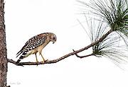 Red-shouldered Hawk on a Longleaf Pine