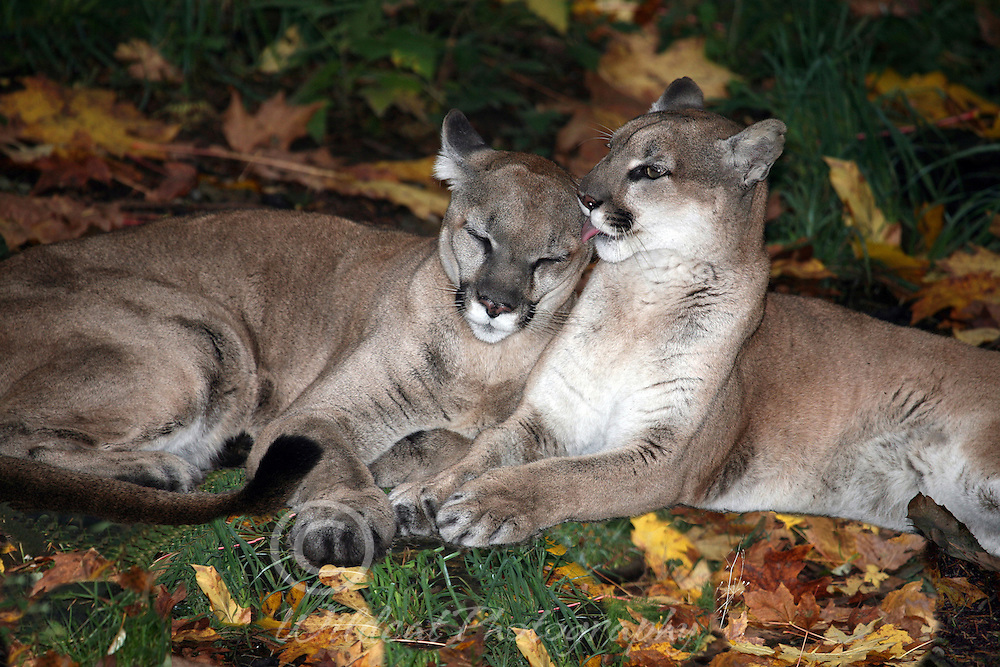 Two friendly cougars