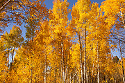 Awesome Aspens Setting the Stage in The Tetons