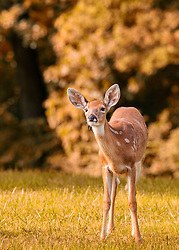 This young doe followed behind me for a good 50 yards keeping her distance, but inquisitive enough to keep tabs on me, so I thought I owed her at least a click of the shutter