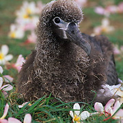 Layson Albatross, (Diomedea immutabilis) Chick among plumeria flowers. Midway Island. Hawaii.
