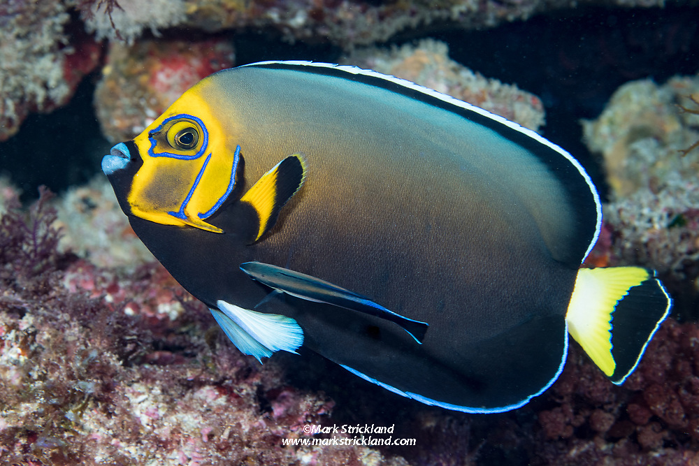 Conspicuous Angelfish, Chaetodontoplus conspicillatus, being serviced by a Bluestreak Cleaner Wrasse, Labroides dimidiatus. Lord Howe Island, Australia, Tasman Sea, Pacific Ocean