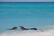 Hawaiian monk seals, Monachus schauinslandi, male makes advances toward female, Critically Endangered endemic species, Sand Island, Midway, Atoll, Midway Atoll National Wildlife Refuge, Papahanaumokuakea Marine National Monument, Northwest Hawaiian Islands ( Central North Pacific Ocean )