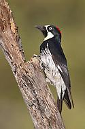 Acorn Woodpecker - Melanerpes formicivorus - Adult female