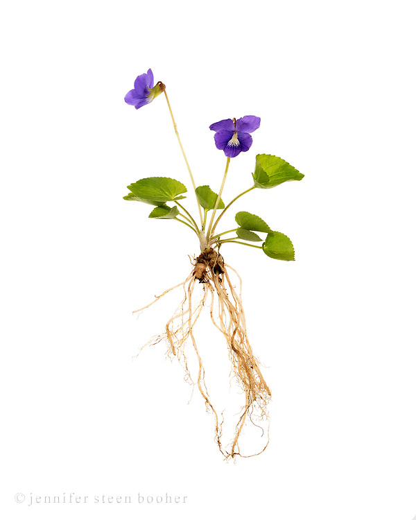 Common Blue Violet (Viola sororia) showing the entire plant - roots, leaves, and flowers.