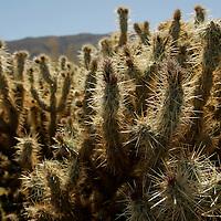 USA, California, San Diego County. Anza-Borrego Desert State Park landscape with Cholla Cactus.