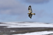 Rough-legged Buzzard - Buteo lagopus<br /> juvenile