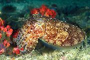 broadclub cuttlefish, Sepia latimanus,<br /> Gato Island Marine Reserve, <br /> off Cebu Island, Philippines<br /> ( Visayan Sea / Western Pacific Ocean )