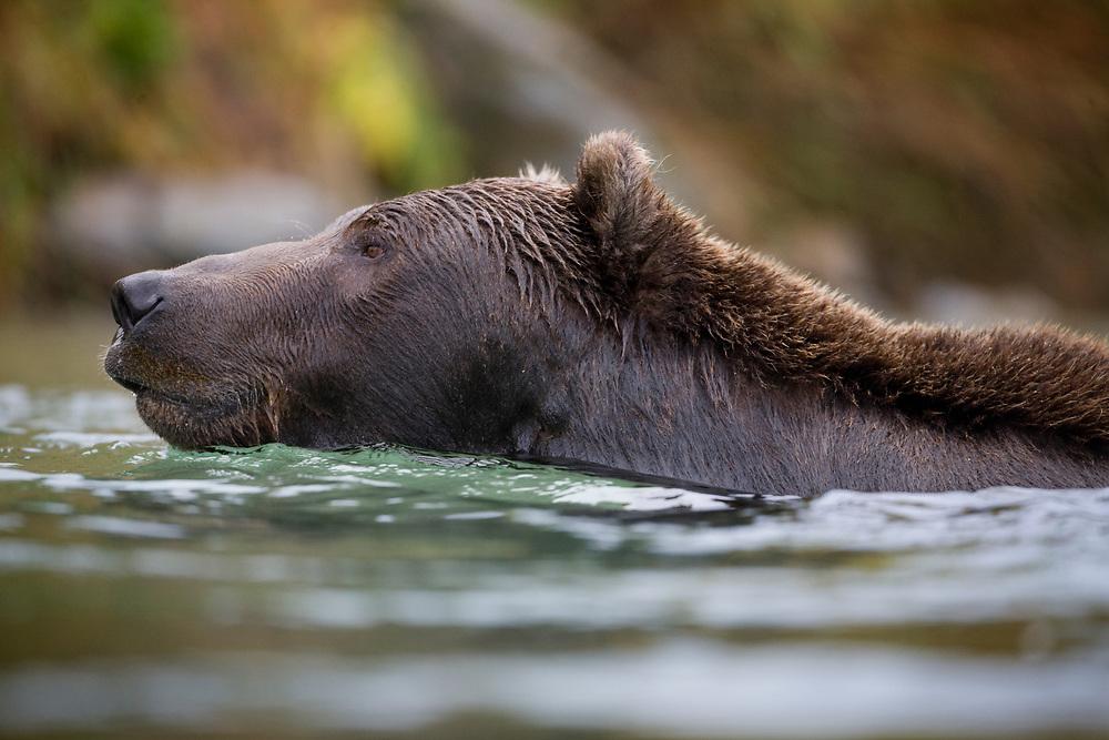 USA, Alaska, Katmai National Park, Kinak Bay, Brown Bear (Ursus arctos) swims while fishing for spawning salmon in river on autumn day