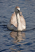 Juvenile mute swan lit by the sun and reflected in the water.