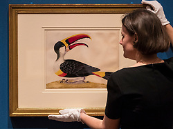 Colourful illustrations that brought the wonders of South America to Europe in the early 18th century are going on display in a new exhibition opening at The Queen's Gallery, Palace of Holyroodhouse tomorrow (Friday, 17 March). Marking the 300th anniversary of the death of intrepid German artist and scientist Maria Sibylla Merian, Maria Merian's Butterflies brings together some of the finest images of the natural world ever made, with more than 50 works going on display in Scotland for the first time.<br /> <br /> Among the works on display are luxury versions of the Metamorphosis plates, which were partially printed and then hand-painted onto vellum. The images were acquired by George III for his scientific library in Buckingham House (later Buckingham Palace) and are today part of the Royal Collection.<br /> <br /> Pictured: Exhibition Curator Kate Heard with Red-billed Toucan
