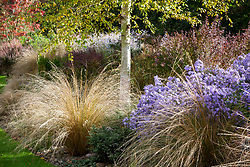 Autumn border at Ashwoods with Chionochloa rubra (Red tussock grass) and Aster 'Little Carlow' (cordifolius hybrid) under silver birch