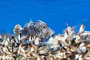Cantherhines dumerilii (Whitespotted filefish)