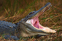 Alligator with its Jaw Wide Open. Merritt Island Wildlife Refuge, Florida Space Coast. Image taken with a Nikon D3x and 500 mm VR lens (ISO 100, 500 mm, f/4, 1/500 sec).