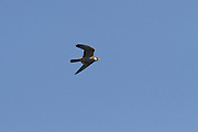 Eurasian hobby  carrying a probable Emperor dragonfly in its talons, while flying at high speed.