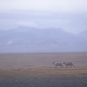 Barren Ground Caribou (Rangifer arcticus) in the Arctic National Wildlife Refuge of Alaska.