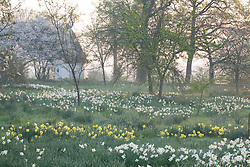 Daffodils in the orchard at Sissinghurst Castle Garden with the Gazebo in the distance