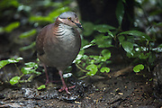 White-Throated Quail-Dove (Geotrygon frenata)<br /> Mashpi Rainforest Biodiversity Reserve<br /> Pichincha<br /> Ecuador<br /> South America