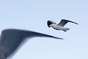 Sea gull in flight, near Svolvaer, Lofoten Islands, Norway.