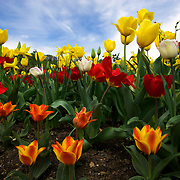 A flower bed of colorful tulips. Photo by Adel B. Korkor.