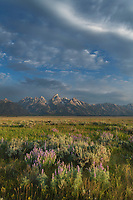 Antelope Flats lupines and sagebrush. Grand Teton National Park