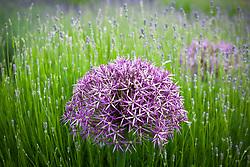 Allium cristophii with lavender in bud
