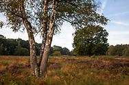 birch tree and oak on Telegraphen hill in the Wahner Heath,  Troisdorf, North Rhine-Westphalia, Germany.<br /> <br /> Birke und Eiche auf dem Telegraphenberg in der Wahner Heide, Troisdorf, Nordrhein-Westfalen, Deutschland.