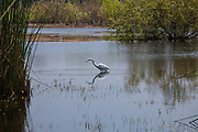 Great Egret (Ardea alba). Madrona Marsh Wetlands is a vernal freshwater marsh and is approximately 43 acres. torrance, California, USA