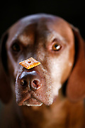 SHOT 1/19/13 11:24:16 AM - Tanner, an 8 year-old male Vizsla, balances a Cheezit on his nose while waiting for the command to go ahead and eat it one afternoon. The Vizsla is a medium-sized short-coated hunting dog of distinguished appearance and bearing. Robust but rather lightly built, they are lean dogs, have defined muscles, and are observed to share similar physical characteristics with the Weimaraner. The Vizsla is a natural hunter endowed with an excellent nose and an outstanding trainability. Although they are lively, gentle mannered, demonstrably affectionate and sensitive, they are also fearless and possessed of a well-developed protective instinct. (Photo by Marc Piscotty / © 2013)