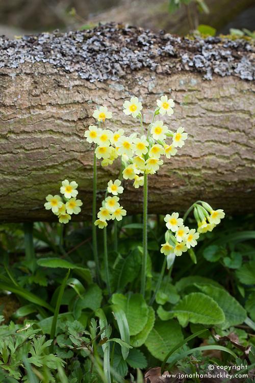 Oxlip in Hayley Wood. Primula elatior