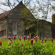 Red Crimson Clover sprouts along the remains of an abandoned homestead.