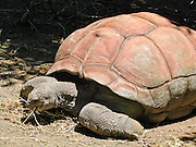 An Aldabra giant tortoise grazes at Taronga Zoo, Sydney, New South Wales (NSW), Australia. This species (Aldabrachelys gigantean or Dipsochelys dussumieri) is one of the largest tortoises in the world and is from the islands of Aldabra Atoll in the Seychelles, plus the islands of Zanzibar, Mauritius, and Rodrigues.