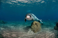 Mission: Monk Seal <br /> Desertas Islands – Deserta Grande - Madeira, Portugal. August 2009.<br /> Monk Seal (Monachus monachus)