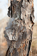 Madagascar Jewel, Close up of bark, Euphorbia leuconeura, Reniala Nature Reserve, Ifaty, Madagascar, peeling bark