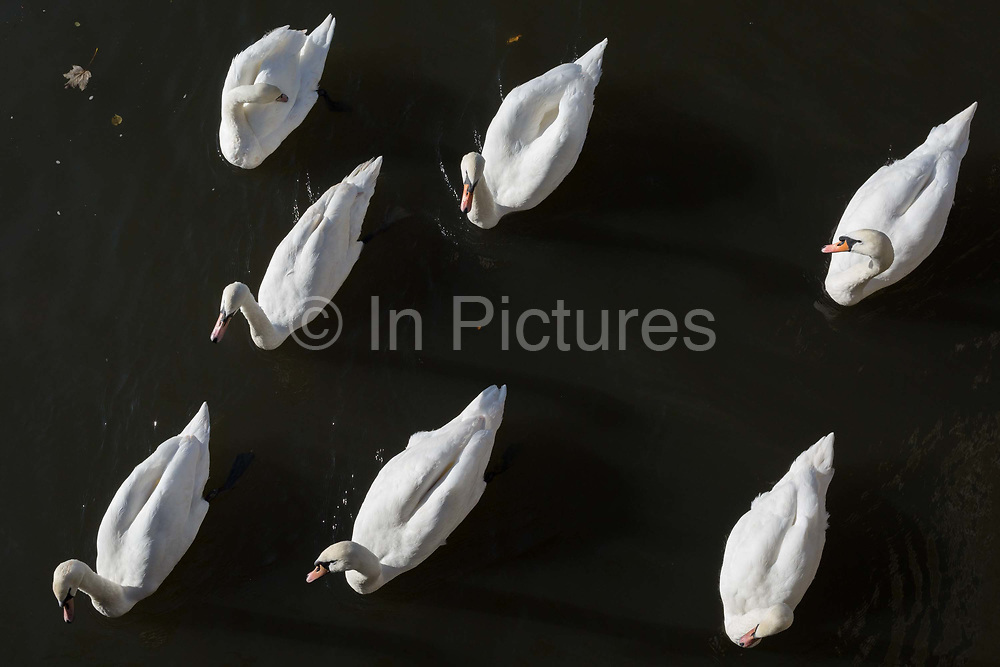 A ballet of mute swans paddle along the Thames riverbank at Kingston, on 7th November 2019, in London, England.