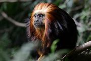 Apenheul is een gespecialiseerde dierentuin aan de rand van de Nederlandse stad Apeldoorn. De tuin ligt midden in het natuurpark Berg & Bos (200 ha). In Apenheul leven apen uit Afrika, Zuid-Amerika en Azië. De dieren leven er heel vrij: gaas of tralies ziet men er bijna niet. Sommige soorten lopen zomaar tussen de bezoekers rond. <br /> <br /> Op de foto:  Goudkopleeuwaapje