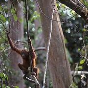 Orangutan, (Pongo pygmaeus) Sitting in tree tops of jungle in rain forest. Northern Borneo. Malaysia. Controlled Conditons.